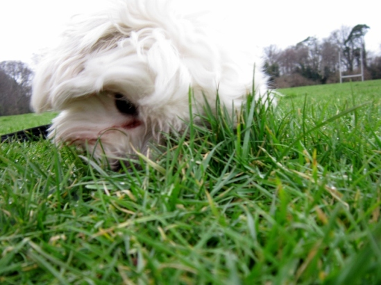 Jimmy the Maltichon rolling in the grass, Marlay Park